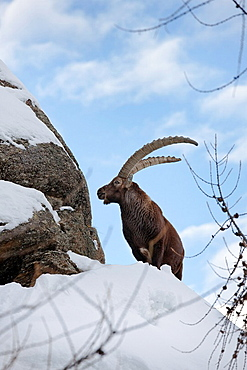 Ibex Capra ibex stands on rock during dawn with fresh deep snow     Gran Paradiso National Park, Valsavarenche, Aosta, Italy