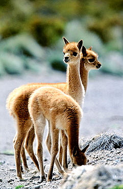 Vicuna Vicugna vicugna, Altiplano, Chile  calfs Vicuna are living in the cold Altiplano of the Andes Mountains  Their wool is one of the finest and most expensive natural fibers world wide  During the times of the Inca only kings and high ranking nob