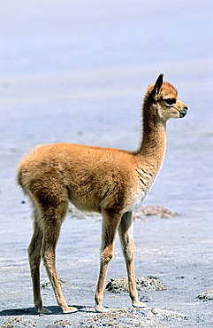 Vicuna Vicugna vicugna, Altiplano, Chile  portrait of calf Vicuna are living in the cold Altiplano of the Andes Mountains  Their wool is one of the finest and most expensive natural fibers world wide  During the times of the Inca only kings and high