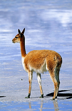 Vicuna Vicugna vicugna, Altiplano, Chile  Vicuna are living in the cold Altiplano of the Andes Mountains  Their wool is one of the finest and most expensive natural fibers world wide  During the times of the Inca only kings and high ranking nobleman