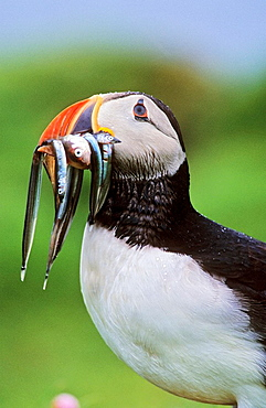 Atlantic Puffin Fratercula arctica on cliff with fish in beak during rain, Fair Isle  the bird is scanning the horizon to avoid to be attacked by birds of prey like skuas  Europe, Great Britain, Scotland, Shetland Islands, Fair Isle, May 1999