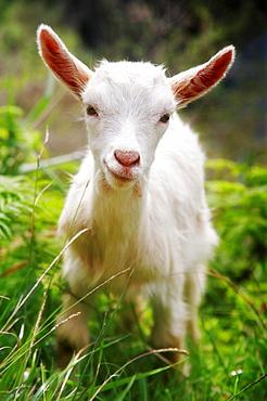 Smiling baby goat facing camera