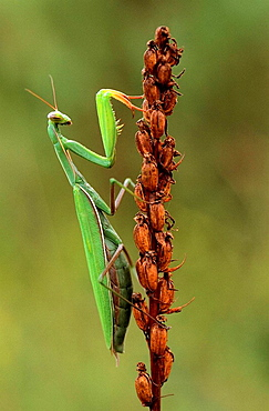 European praying mantis (Mantis religiosa) female on faded orchid in autumn, Lorraine, France