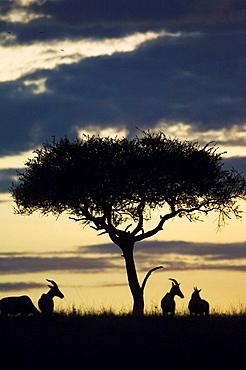 Topis at sunrise, Damaliscus lunatus, Masai Mara National Park, Kenya, East Africa