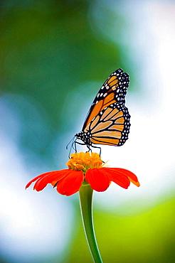 Monarch Butterfly on Flower - 817-227437