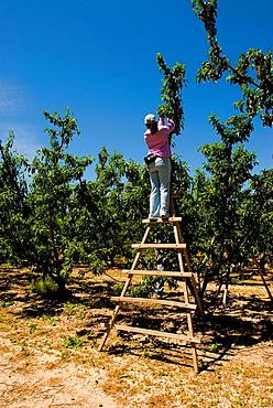 Peach fields in Segura river valley, Calasparra, Murcia province, Spain.