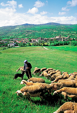 Sheep and the fortified village of Sainte-Eulalie in background, Aveyron, France