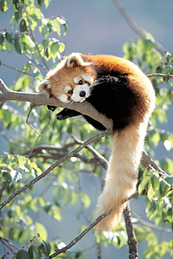 Red Panda (Ailurus fulgens) captive at panda centre, Wolong Valley, Himalaya, China - 817-242741