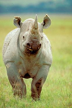 Black Rhinoceros (Diceros bicornis), Ngorongoro crater, Tanzania