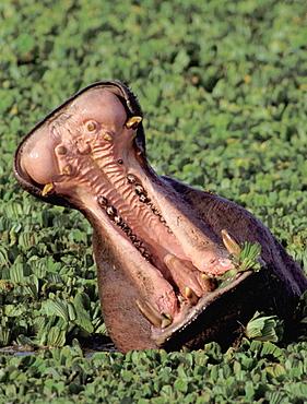 Hippopotamus (Hippopotamus amphibius), Masai Mara, Kenya - 817-242882