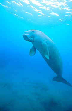 Dugong (Dugong dugon) ascending to the surface, Tropical Indo Pacific from the Red Sea to Vanuatu