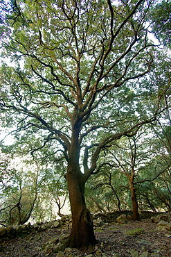 Oak, Quercus ilex Biniforani forest Bunyola Mallorca Balearic Islands Spain