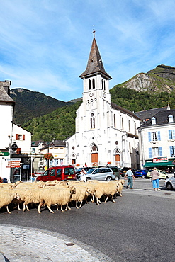 During transhumance sheep pass through the village of Laruns to reach an high pastures, Pyrenees-Atlantiques, France