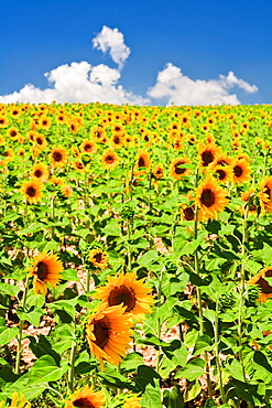 Field of sunflowers in Provence, France, Europe