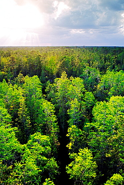 Overview into Okefenokee National Wildlife Refuge in the state of Georgia, USA A forest grows from the black swamp water
