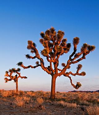 Joshua trees, Yucca brevifolia, Joshua Tree national park, California