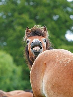 Gotland pony Gotland Sweden.