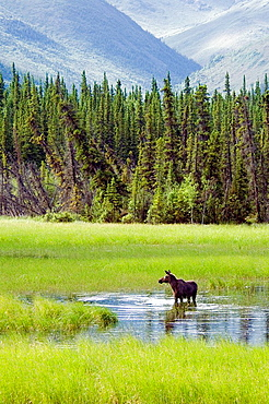 elk, moose, Alces alces, females, elk cow, water, lake, scenery, landscape, Chugach Mountains, USA, America, United St. elk, moose, Alces alces, females, elk cow, water, lake, scenery, landscape, Chugach Mountains, USA, America, United St