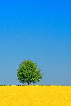 Switzerland, Europe, Rape field, Lone tree, Yellow, Spring, Agriculture, Landscape, Brassica napus, Blue sky. Switzerland, Europe, Rape field, Lone tree, Yellow, Spring, Agriculture, Landscape, Brassica napus, Blue sky