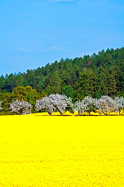 Czech Republic, Southern Bohemia, Rape Fields, Brassica napus, Agriculture, Bloom, Blooming, Blossom, Blossoming, Bohe. Czech Republic, Southern Bohemia, Rape Fields, Brassica napus, Agriculture, Bloom, Blooming, Blossom, Blossoming, Bohe