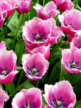 Tulips (Tulipa hybr.) in Keukenhof Park, Lisse, Netherlands