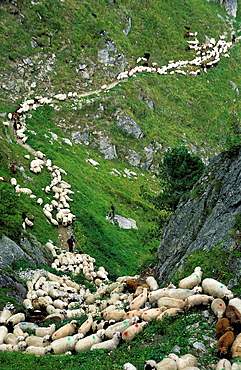 Switzerland, Europe, Canton Valais, Aletsch area, Belalp, cattle drive, sheep, way, path, footpath, small, narrow, ste. Switzerland, Europe, Canton Valais, Aletsch area, Belalp, cattle drive, sheep, way, path, footpath, small, narrow, ste