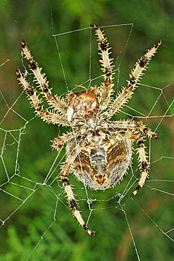 Garden Spider (Epeira diademata)
