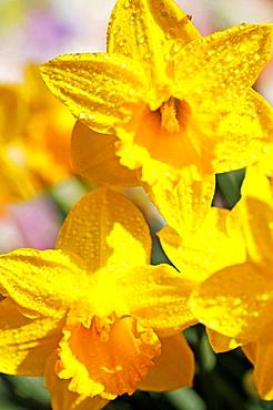Daffodils (Narcissus hybr.)