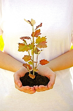 planting a poplar (populus sp.)