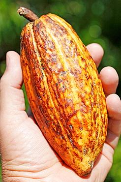 Cocoa fruit (Theobroma cacao)