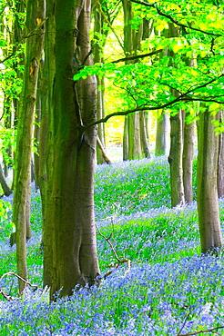 Bluebells in Prior´s Wood, Portbury, North Somerset, England, United Kingdom