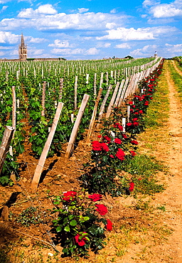 Vineyards in Chateau Canon St Emilion Dordogne Valley. Bordeaux, Aquitaine, France.