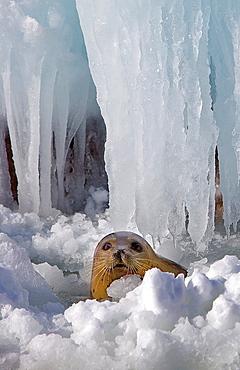 wild seal in Bakkai Port, Wakkanai, Hokkaido, Japan