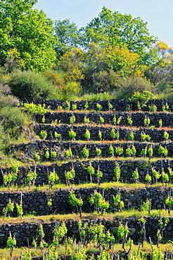 Terraced vineyard Taormina Sicily Mediterranean Sea Island
