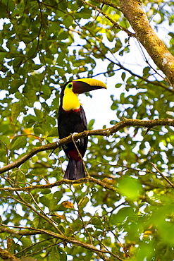 Chestnut-mandibled Toucan Ramphastos swainsonii sitting in a tree in Costa Rica