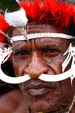 Portrait of local Papuan man looking serious to the camera, with wild boar teeth put through his nose, Baliem Valley festival, Jayawijaya region, Papua, Indonesia, Southeast Asian