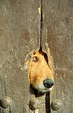 A hole in a wooden door of a farmhouse in the Alpujarras region is used by the housedogs as a look-out, Province of Granada, Andalucia, Spain.
