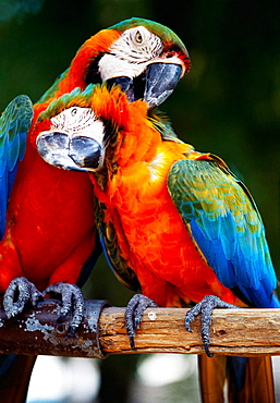 Parrots, Grand Bahama Island, Bahamas