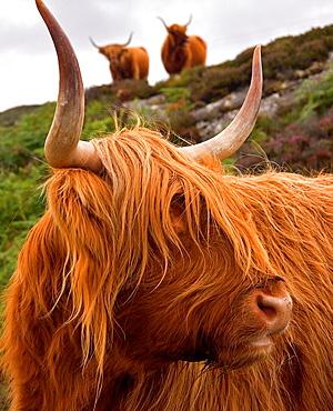 Cow in Plockton Highlands Scotland United Kingdom