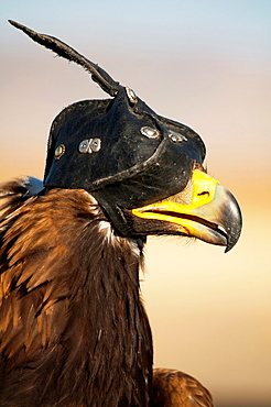 A Kazakh eagle hunter's golden eagle in the Altai Region of Bayan-Olgii in Western Mongolia