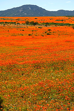 Thousands of Orange African Daisies blossoming during the spring flower season in the Skilpad Wild Flower Reserve, Namaqua National Park, Namakwaland, Northern Cape, South Africa