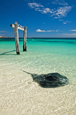 Stingray in the shallow water of Hamelin Bay in the Margaret River region of Western Australia, Australia