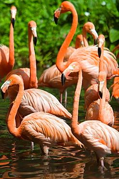 Bright pink Caribbean Flamingoes Flamingo Pool Jurong Bird Park Singapore