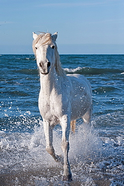 Camargue horse running in the water, Bouches du Rhone, France