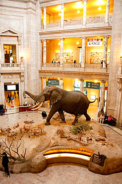USA Washington DC, stuffed elephant in lobby of the Smithsonian Museum of Natural History on the National Mall