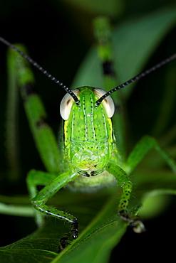 Grasshopper. Image taken at Kampung Skudup, Sarawak, Malaysia.