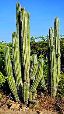 Cactus of the Desert of Aruba