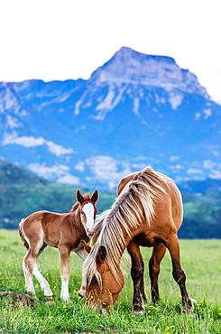 Livestock in Ordesa & Monte Perdido National Park, Huesca, Aragon, Spain Pyrenees