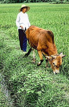 Woman farmer with oxen tilling land near the Li River in Guilin China