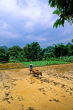 Farmer with oxen in rice fields of Guilin China